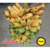 กล้วยฝ้าย