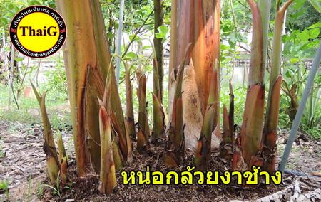 http://everysale.thaicentralgarden.com/image/catalog/catalog/banana/Banana%20Chang%207-1.jpg