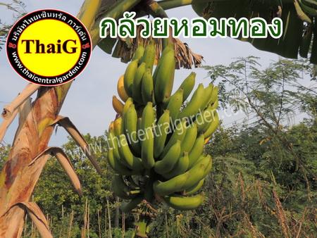 http://everysale.thaicentralgarden.com/image/catalog/catalog/banana/Hom%20Tong-1-1.jpg