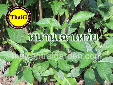http://everysale.thaicentralgarden.com/image/catalog/catalog/herb/Hnan%20chao%20wue-2.jpg